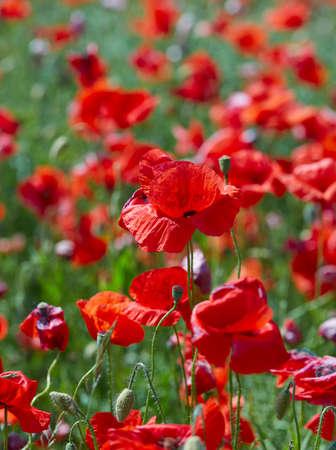 beautiful poppy flower field on a sunny summer day Foto de archivo