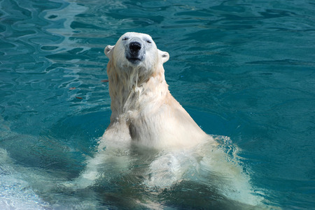 Polar bear coming out of the water after a nice cool dip.