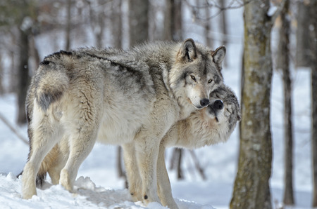 lobo: Temder momento betweeen Timber macho y hembra del lobo en el bosque cubierto de nieve