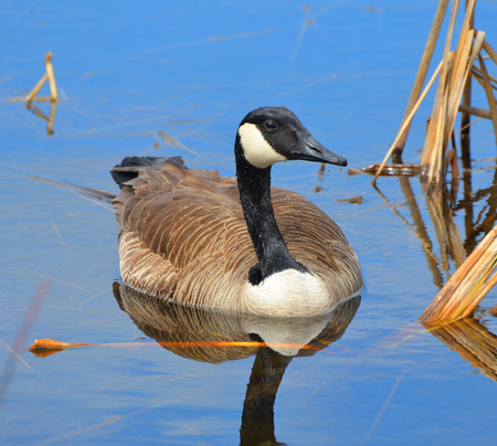 thirsty bird: Male goose in clear blue water Stock Photo