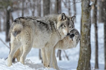 Tender moment betweeen male and female Timber Wolf in snow covered forest Фото со стока