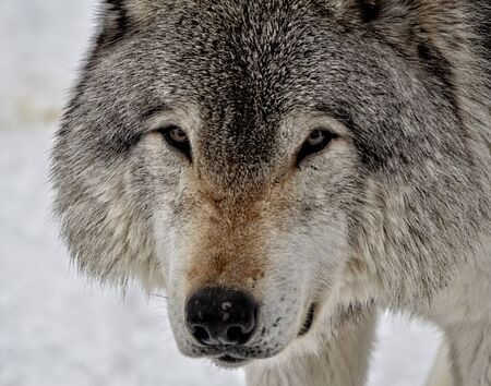 Close up of a Timber Wolf in winter