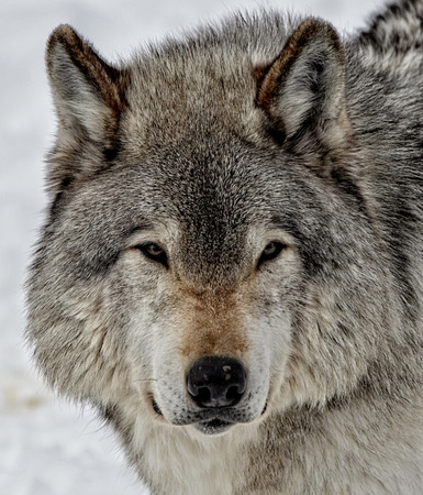 timber wolf: Close-up of a healthy Timber Wolf face
