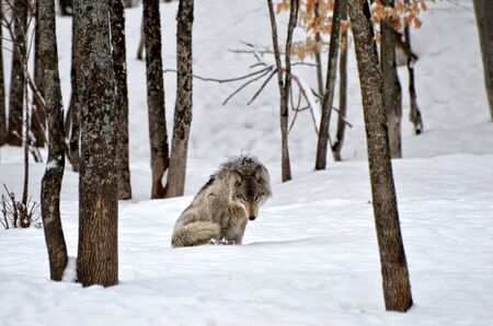 Lonely Timber Wolf in winter forest