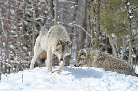 timber wolf: Male and Female Timber Wolf in snow covered  forest