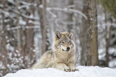 timber wolf: Timber Wolf  relaxing  in snow covered  forest