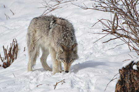 timber wolf: Timber Wolf sniffing in snow for food. Stock Photo
