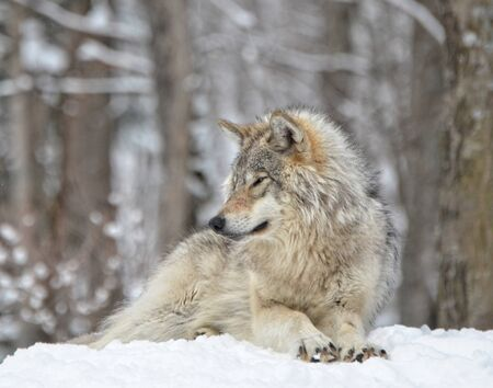 timber wolf: Timber Wolf resting in snow covered forest