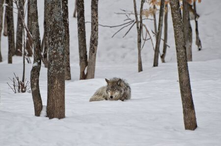 timber wolf: Timber Wolf sleeping in snow covered forest