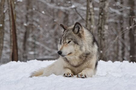 timber wolf: Timber Wolf watching  in snow covered  forest