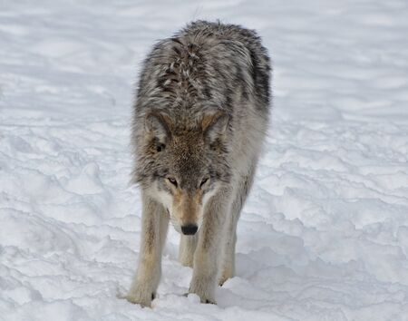 timber wolf: Timber Wolf in snow covered  field Stock Photo