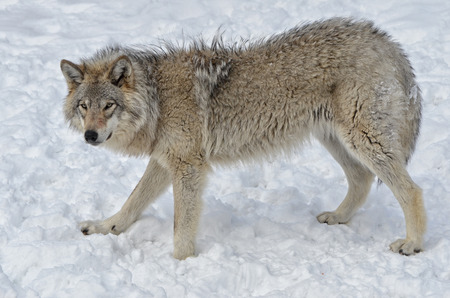 timber wolf: Timber Wolf walking  in snow covered  field Stock Photo