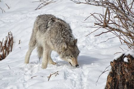 timber wolf: Timber Wolf in snow covered  forest