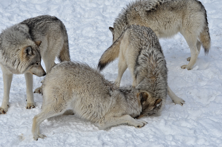 timber wolf: Timber Wolf pack on snow covered  ground