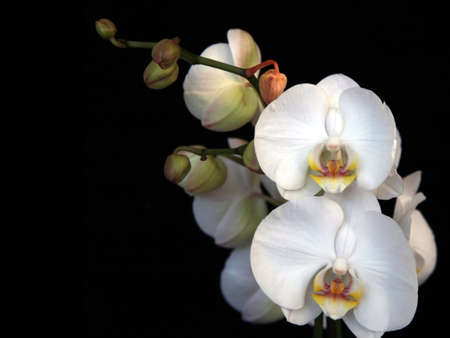 Beautiful white orchid shot on a black background Stock Photo