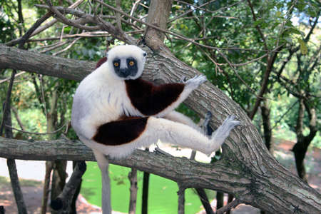 Large Dancing Lemur on Tree