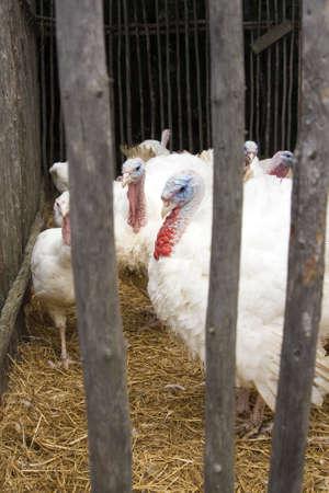 Captive Turkeys