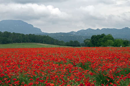 Field of Poppies on rainy day  Stock Photo