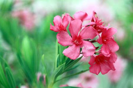 Pink Oleander Flowers  Stock Photo