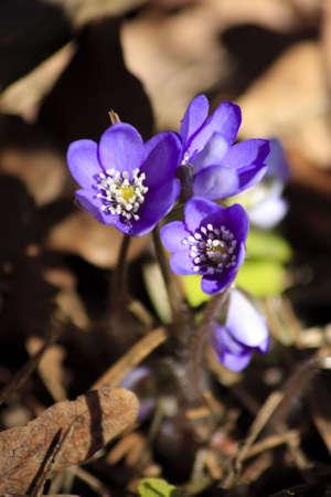 lobed: Close-up Of Three Hepatica (liverleaf) Flowers Stock Photo