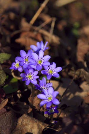 lobed: Hepatica (liverleaf) flowers - one of the first spring flowers shallow depth of focus Stock Photo