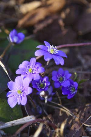lobed: Hepatica (liverleaf) Flowers