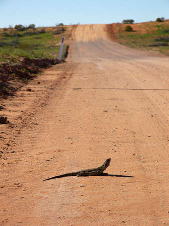 a frill: Frill Neck Lizard on Road Stock Photo