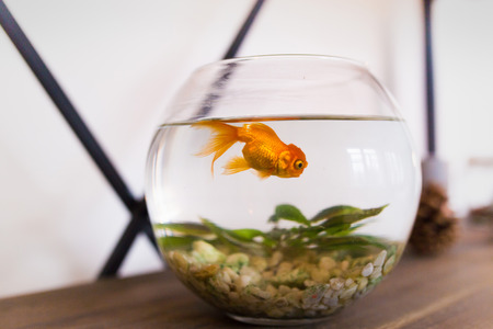 Poisson rouge dans l'aquarium. poisson à l'intérieur, un petit aquarium rond Banque d'images - 93473751