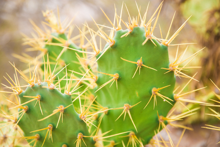 big cactus in the desert. green cactus with thorns. background cactus