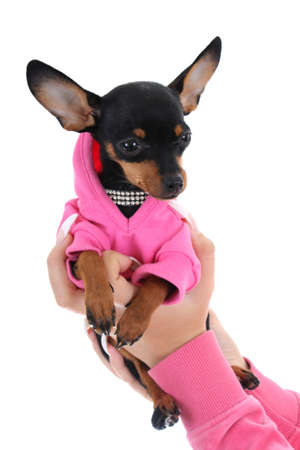 cute puppy in female hand isolated over white Stock Photo - 8179797
