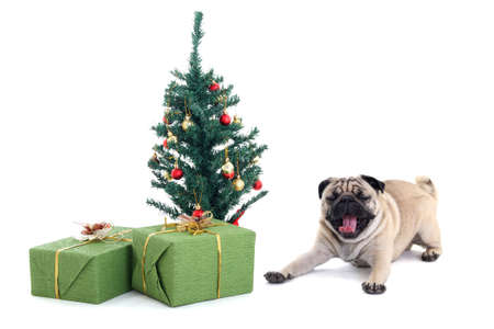 yawning pug dog with christmas tree and presents over white photo