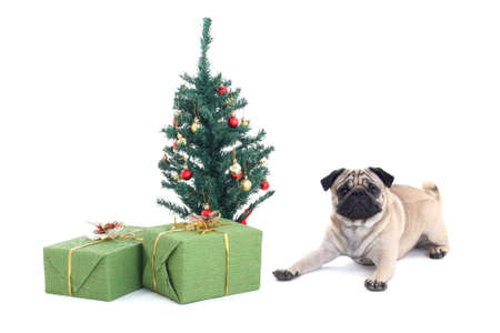 lying pug dog with christmas tree and presents over white photo