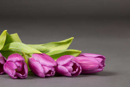 beautiful violet tulips over grey background photo