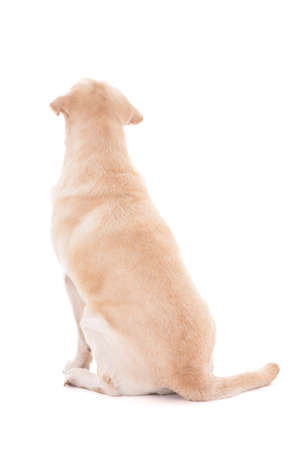 labrador: back view of sitting dog
