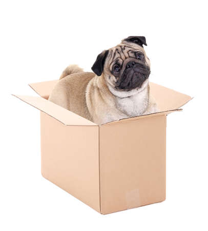 pug dog sitting in brown carton box isolated on white background photo