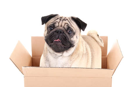 pug dog in brown carton box isolated on white background photo