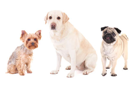pug dog, yorkshire terrier and golden retriever isolated on white background photo