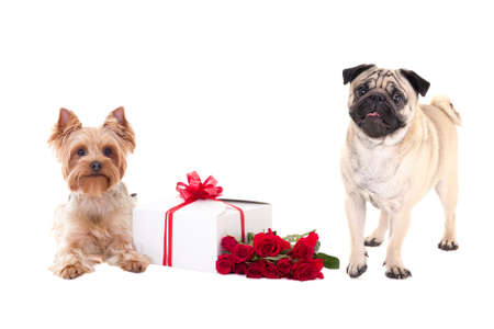 valentines day - yorkshire terrier and pug dog with gift box and flower isolated on white background photo