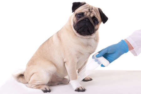 veterinarian putting bandage on injured paw of pug dog Stock Photo