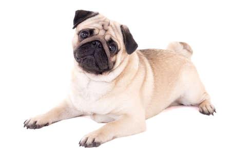 funny pug dog lying isolated on white background