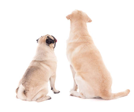 looking at view: friendship concept - back view of two sitting dogs isolated on white background
