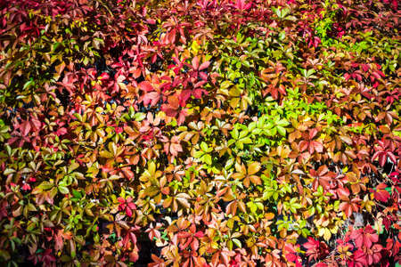 autumn background - wall covered in ivy with colorful leaves