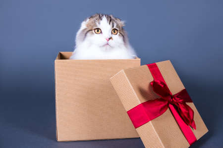 grey cat: cute british cat sitting in gift box over grey background