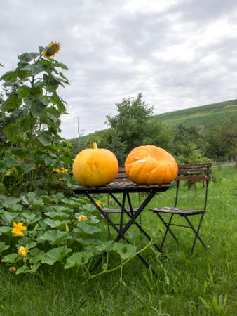 two huge yellow pumpkins just gathered, resting on outdoor table with chair in open countryside. Laterally pumpkins and sunflower plants, green hills and cloudy sky.