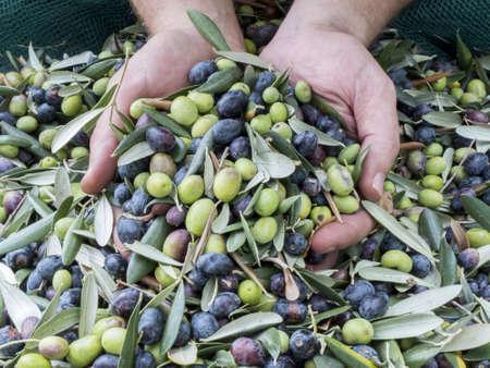 """손은 서쪽 이탈리아의 리구 리아 리비에라의 품질 """"Taggiasca""""올리브에 푹 빠져 있습니다. 세척 및 분쇄하기 전에 올리브를 수확하는 동안 선택 작"""