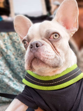 Close-up albino french bulldog breed dog puppy. Wearing black onesie with green edge.