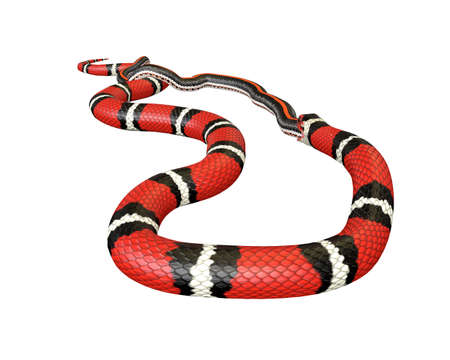 3D Illustration of a Scarlet King Snake Swallowing a Black Snake
