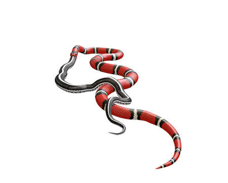 3D Illustration of a Scarlet King Snake Swallowing a Black Snake Reklamní fotografie - 98293619