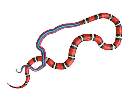 3D Illustration of a Scarlet King Snake Swallowing a Blue Red Snake