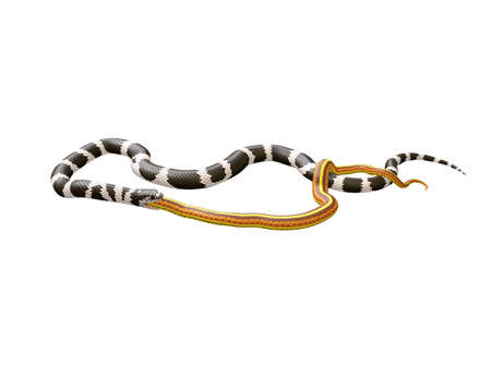 3D Illustration of a California King Snake Swallowing a Yellow Snake Stok Fotoğraf